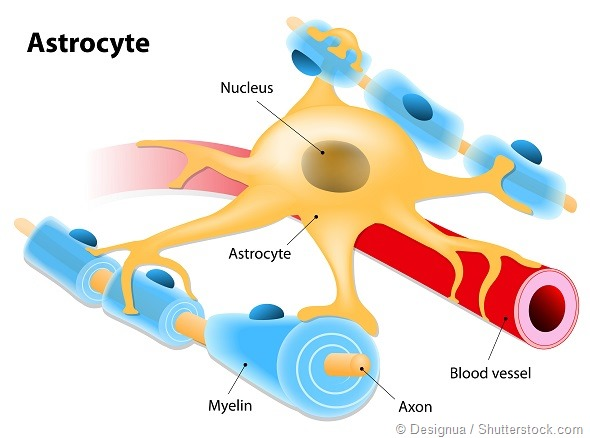 Astrocyte in association with a blood vessel and neurons on a white background