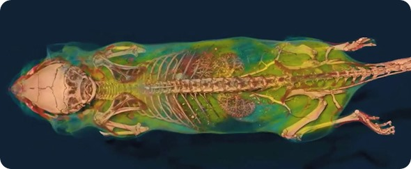 MicroCT scanned rat