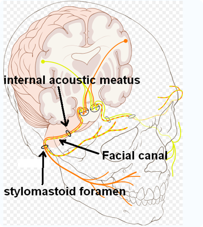 Facial cranial nerve
