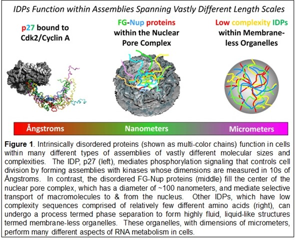 IDPs function within assemblies spanning vastly different length scales