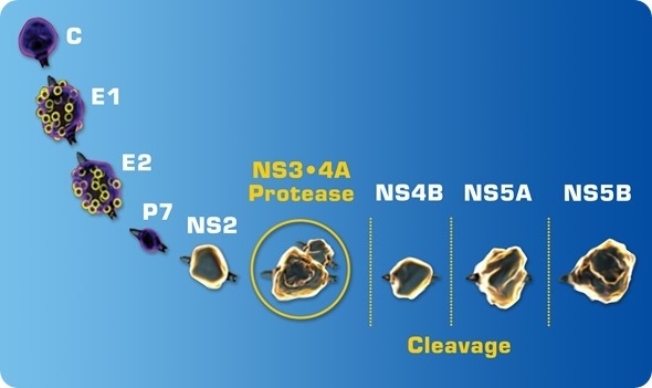 HCV 1