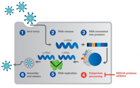 HCV 4