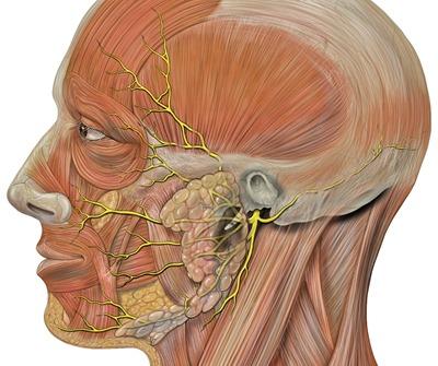 Head facial nerve branches