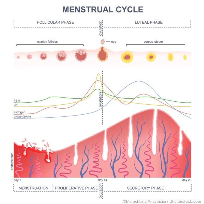 Menstral cycle hormonal control