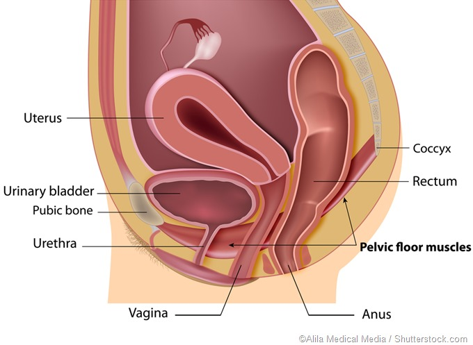 Pelvic floor illustration
