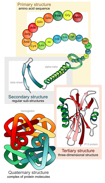Protein structure folding stages - LadyofHats, commons.wikimedia.org