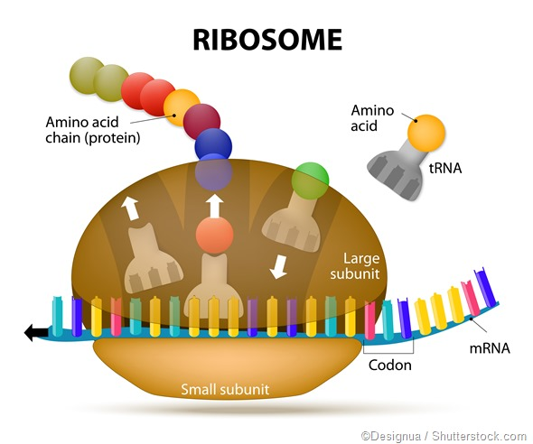 Ribosome Function in Cells