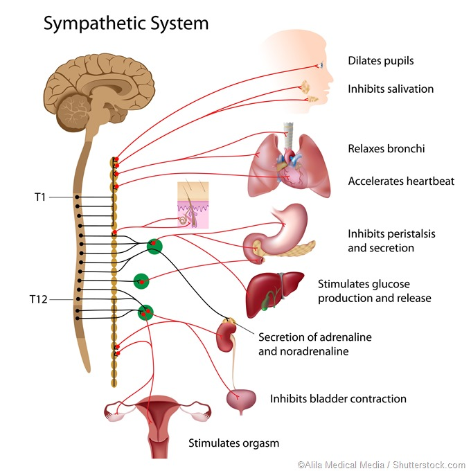 Sympathetic nervous system diagram