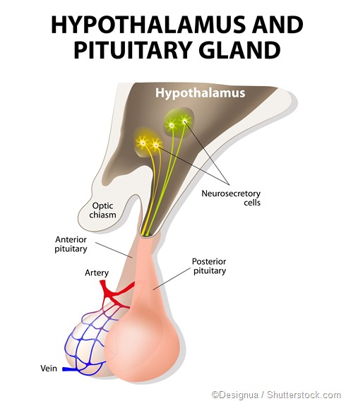 The hypothalamus connection pituitary gland