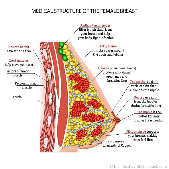 Внутренность женских грудей фото 594-455