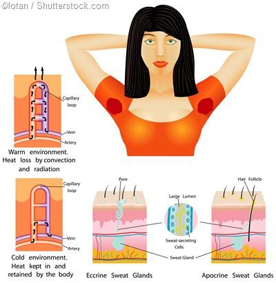 armpit apocrine eccrine sweat gland