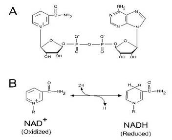 Structure and redox reaction of nicotinamide adenine dinucleotide