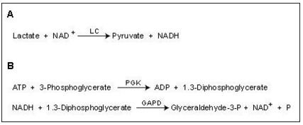 Outline of two reactions using NAD+ as a coenzyme