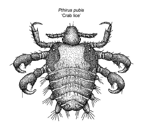 What Are Crabs Pubic Lice