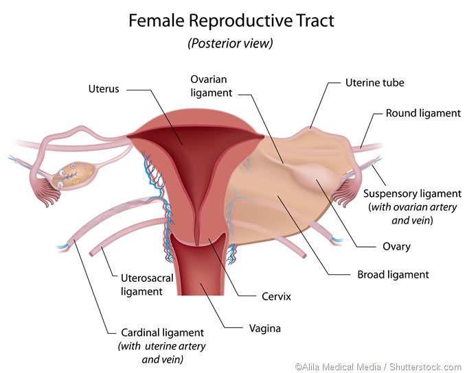 female reproductive organs - detailed diagram