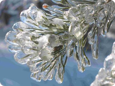 ice tree pine