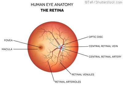 labelled retina diagram