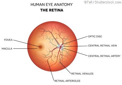 labelled retina diagram
