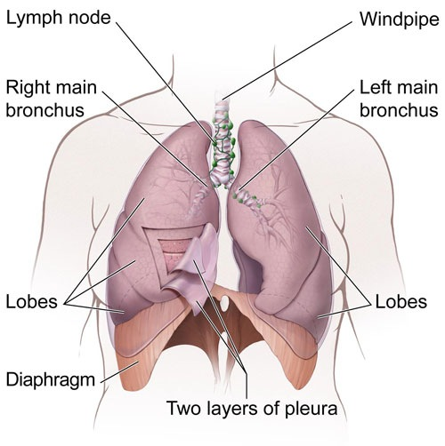 The lungs and nearby tissues