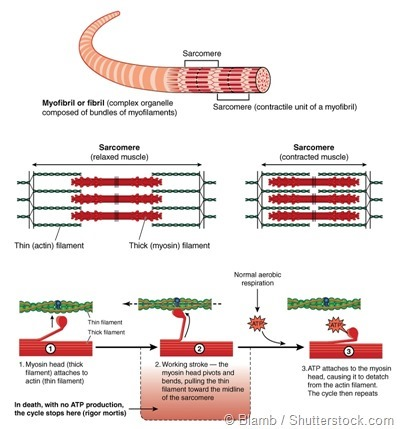 molecular muscle contraction cycle