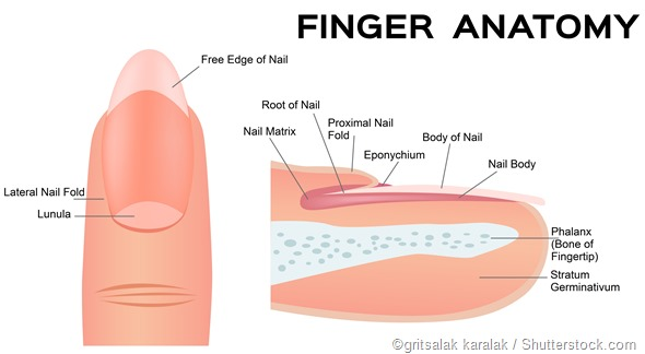 nail and finger tip anatomy