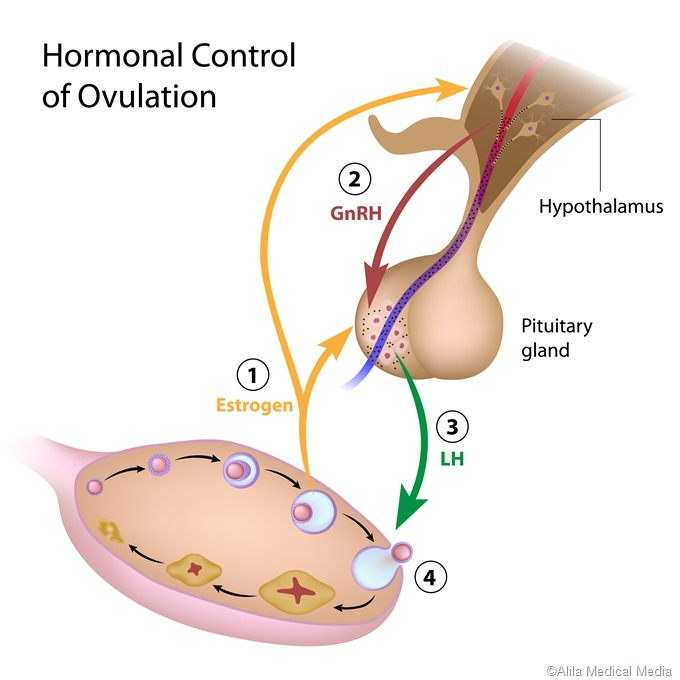 ovulation hormnal control