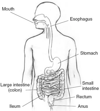 2404428 moreover 08 furthermore Human Digestive System also Healthanatomydiagrams moreover Organ Diagram Outline. on digestive system large intestine